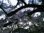 夕桜.jpg