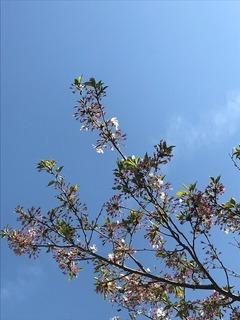 葉桜1 - コピー.jpg