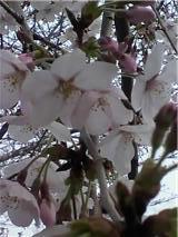 薄曇りの桜.jpg